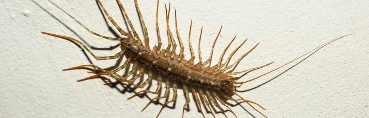 how to get rid of centipedes in house plants