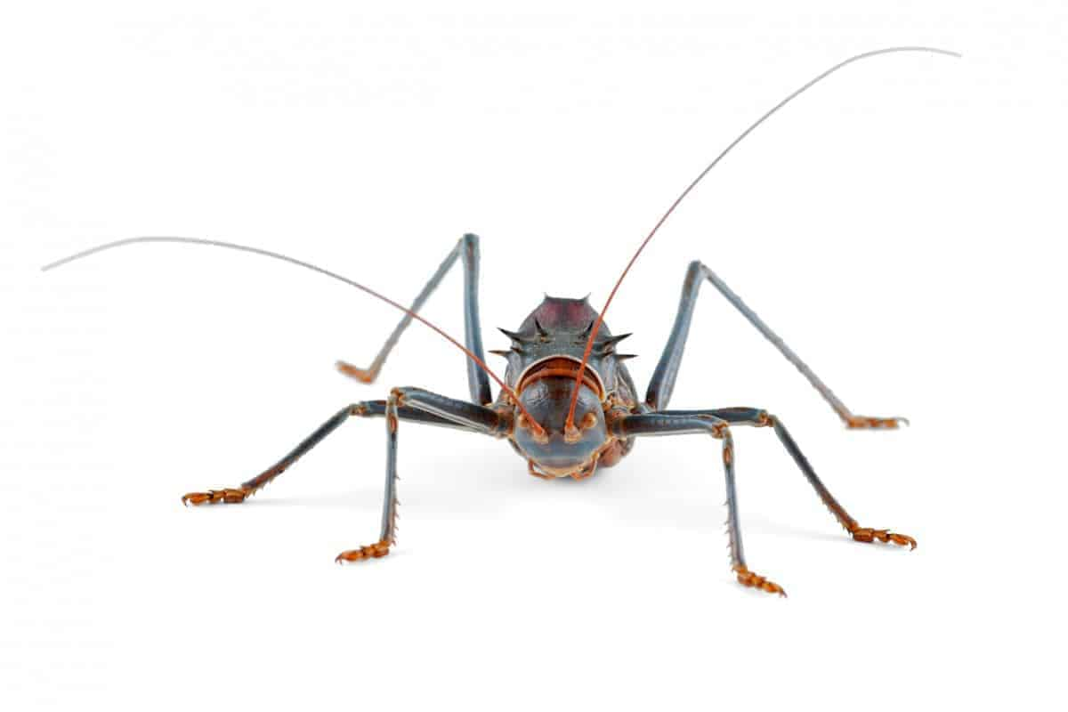 why do crickets chirp at night