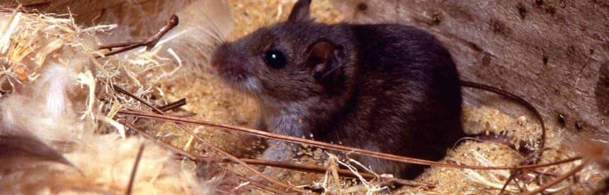 How To Get Rid Of Mice In An Attic Pest Control Zone