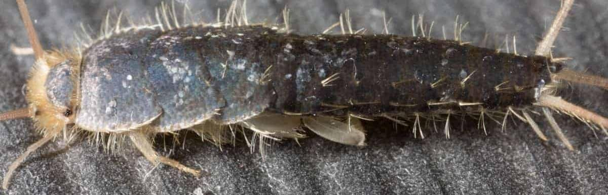 How to Get Rid of Silverfish Bugs Naturally