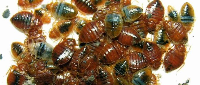 My Apartment Has Bed Bugs - What Are My Rights?