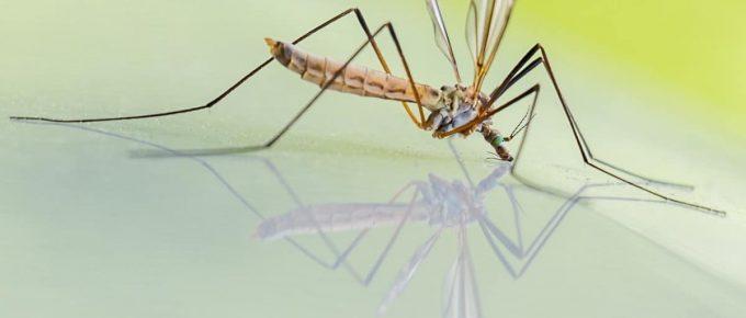 mosquito schnake riesenschnake free photo