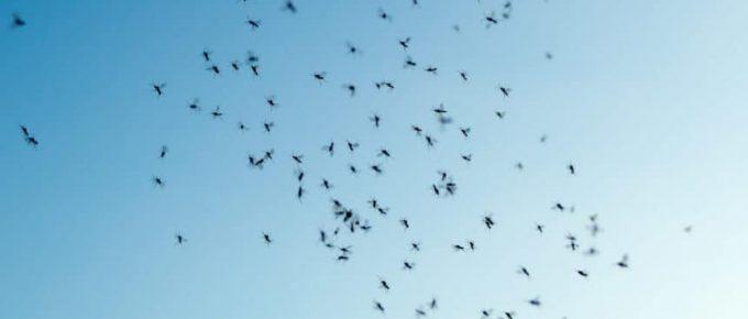Swarm of gnats