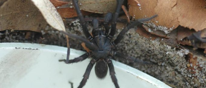 how to get rid of funnel web spiders