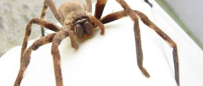 how to get rid of huntsman spiders