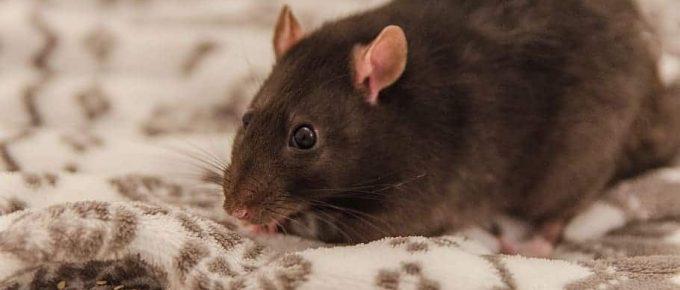 rat, sweet, fur, small, pet, an interesting, portrait, mammal, ears, the nose